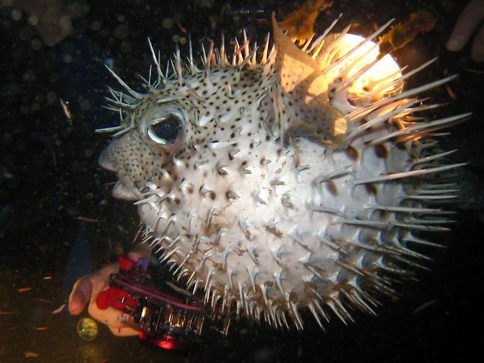 рыба которая раздувается