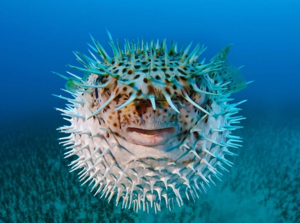 рыба шар аквариумная