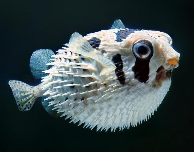 рыба которая надувается как шар