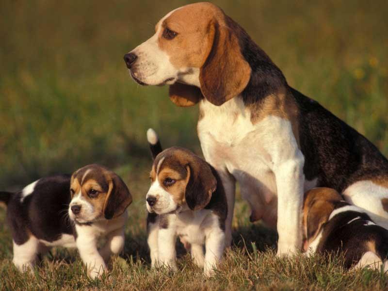 сколько стоит собака породы бигль