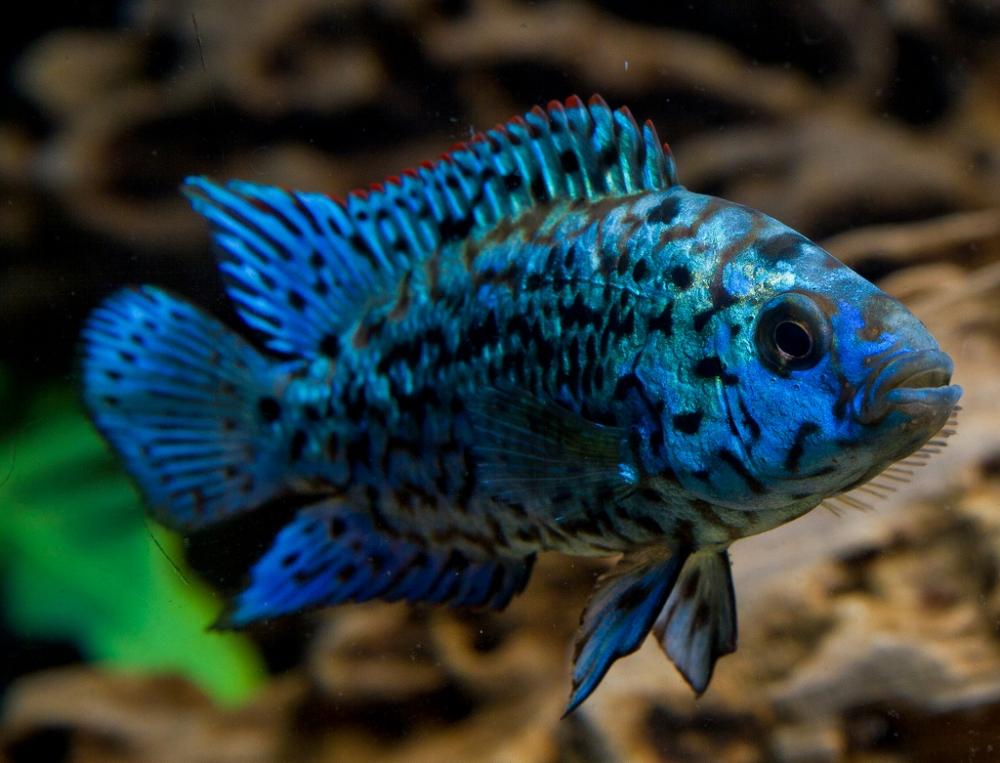 блю демпси рыбка