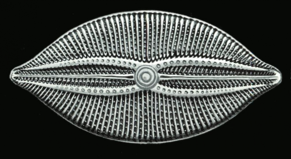 Навикула — Википедия