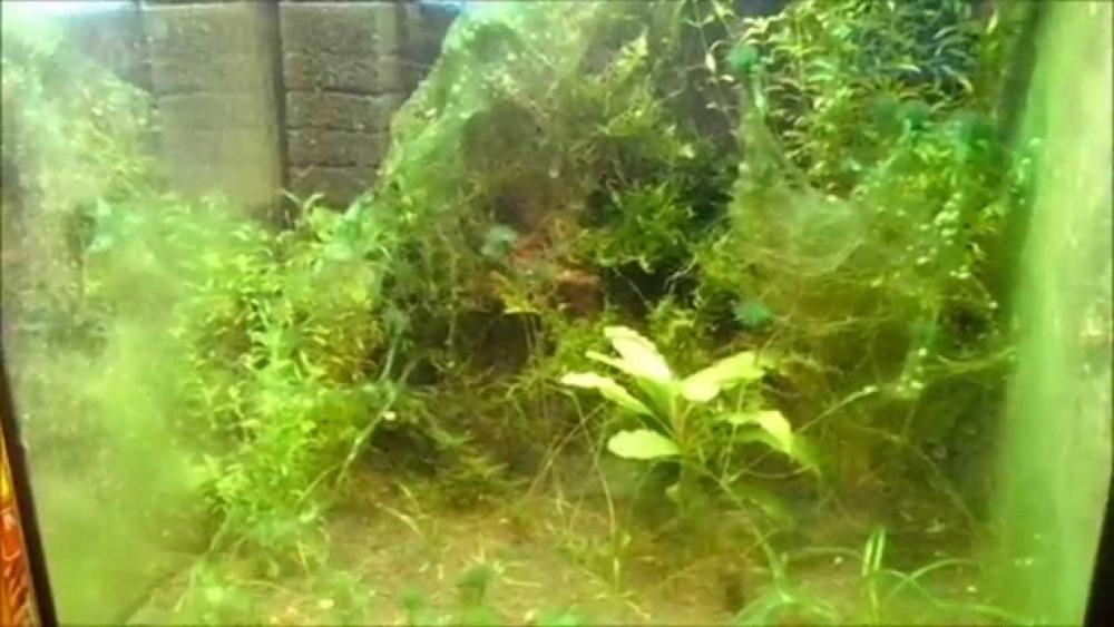 избавиться от водорослей в аквариуме