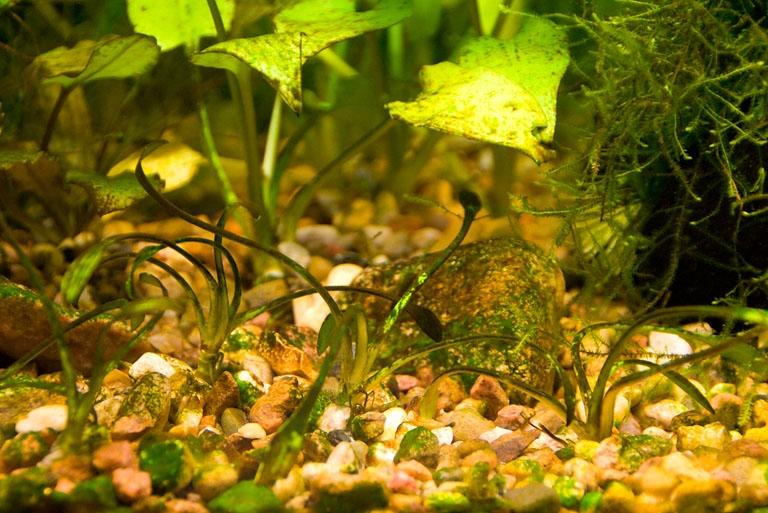 сине зеленые водоросли в аквариуме
