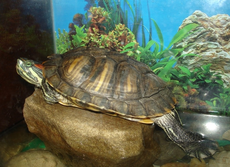 водоплавающие черепахи в домашних условиях