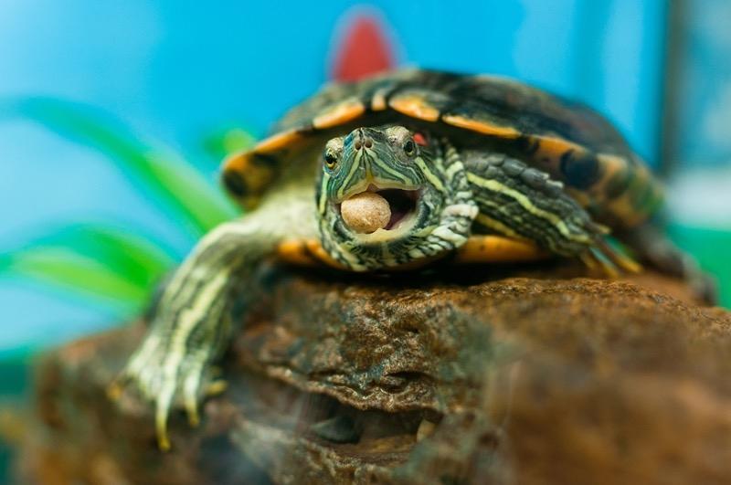 аквариумные черепашки уход и содержание