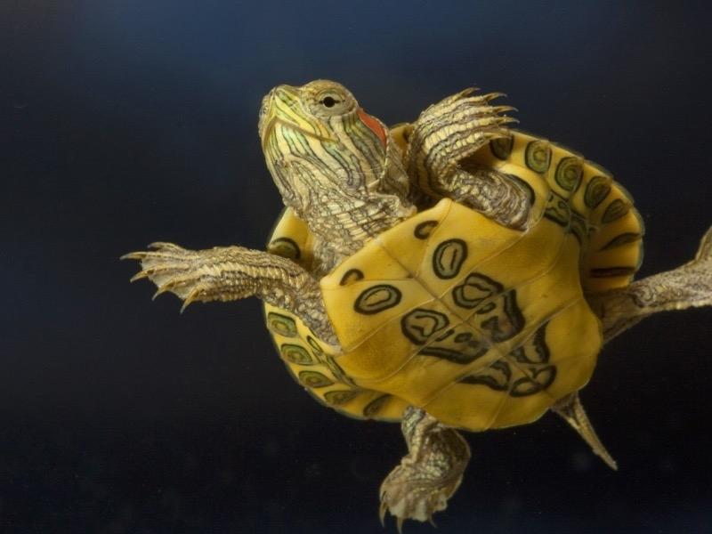 водные черепахи в домашних