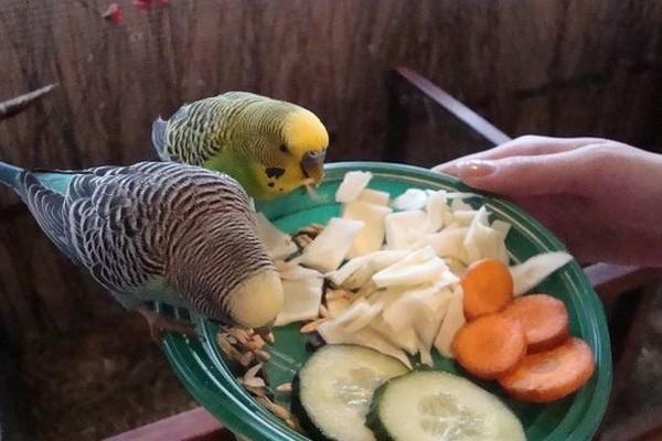 что едят попугаи