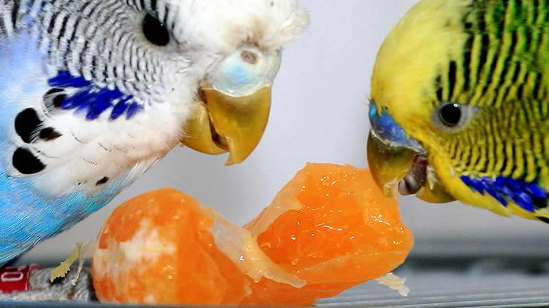 можно давать волнистым попугаям