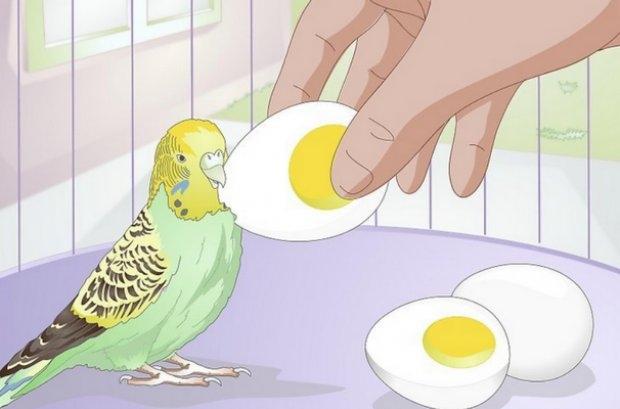 чем питается попугай