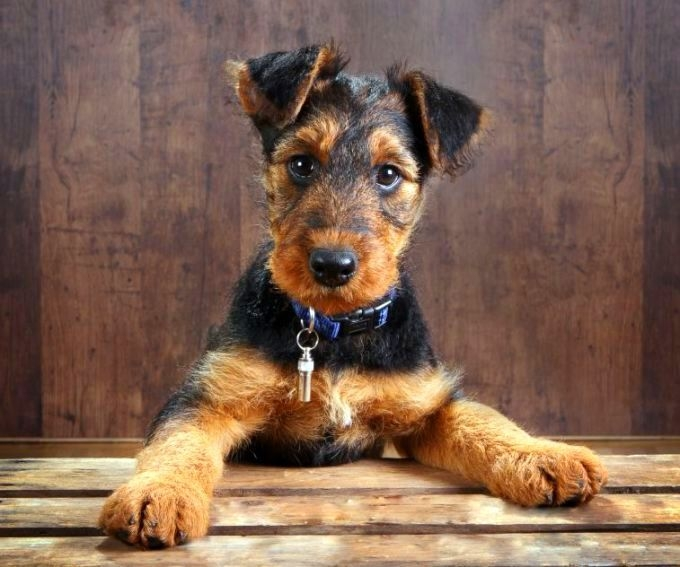 эрдельтерьер щенки