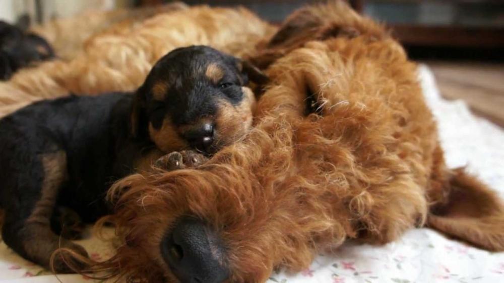 порода собак эрдельтерьер фото