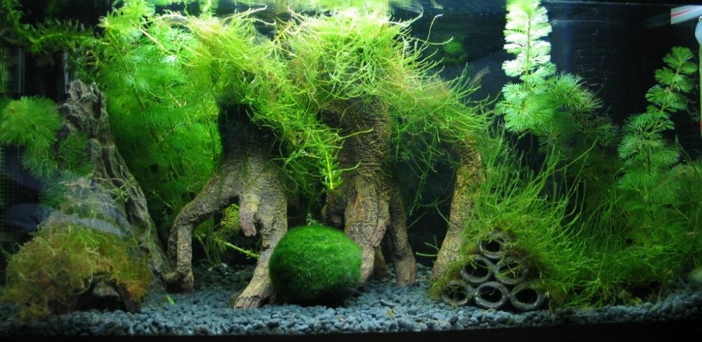 Яванский мох в аквариуме: содержание, разведение (фото + видео)