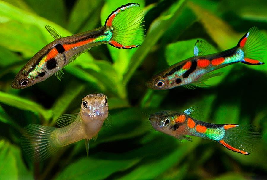 гуппи эндлера виды