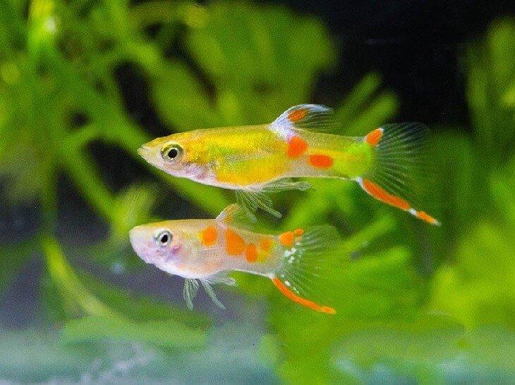 ГУППИ ЭНДЛЕРА ГОЛД (Guppy Golden Endler) » Домашний аквариум