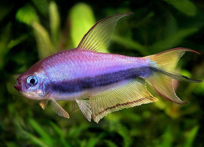 гурами совместимость с другими рыбами
