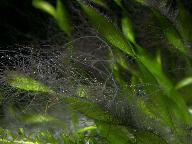 Как избавиться от водоросли черная борода в аквариуме: методы