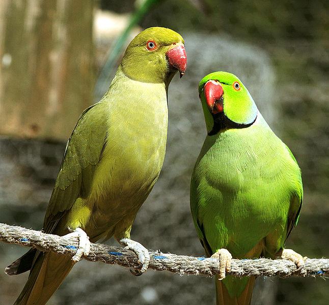 Ожереловый или Индийский кольчатый попугай - все об особенностях ...