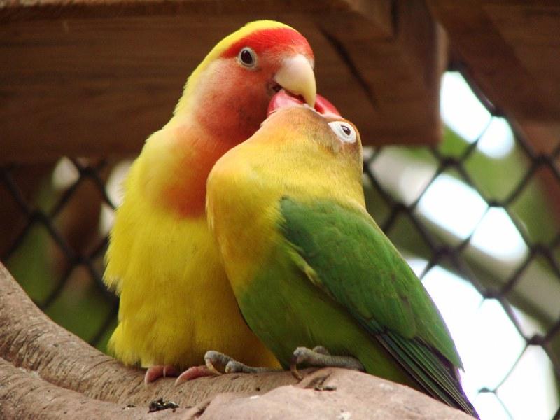 Как определить пол попугая неразлучника | ДОМАШНИЕ ЛЮБИМЦЫ