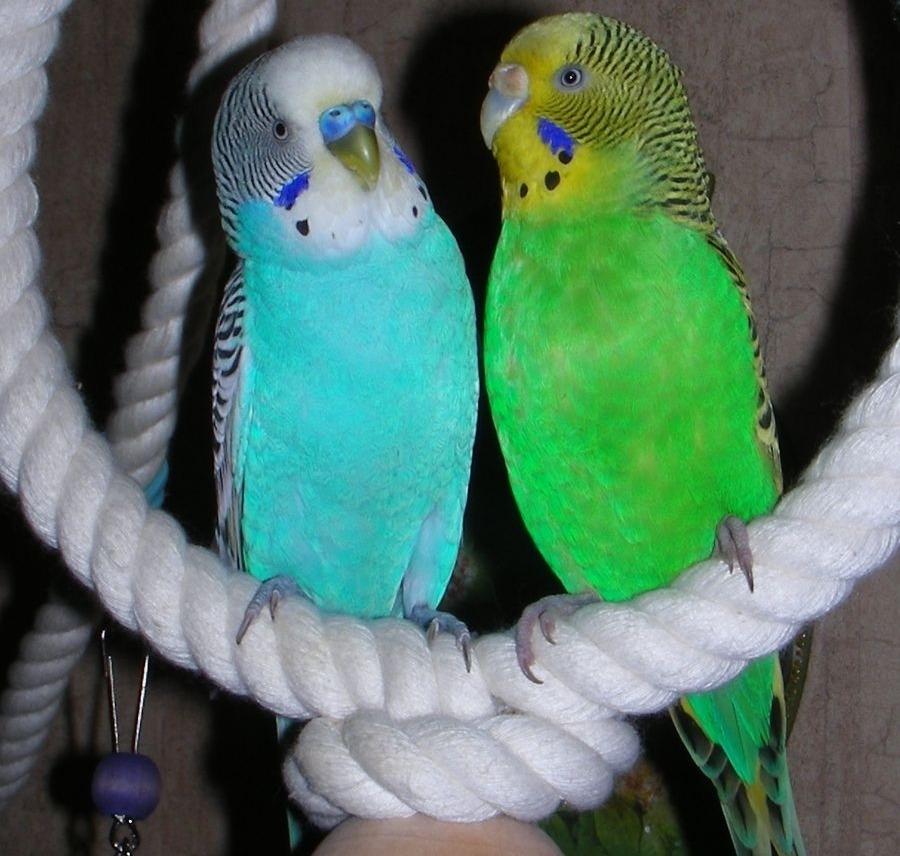 Волнистые попугаи - volnistye.ru