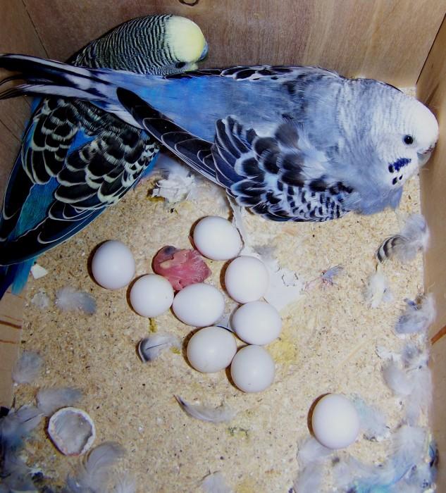 Самка попугая снесла яйцо - что делать? Сколько времени попугаи ...