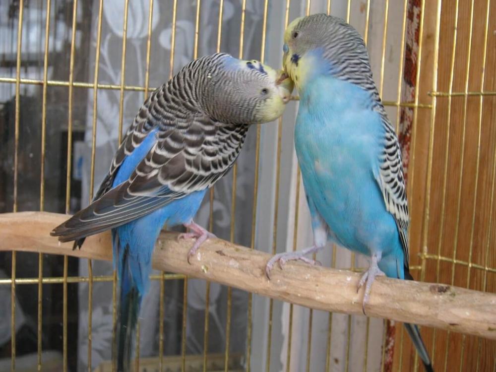 Игры в брачный период у волнистых попугаев