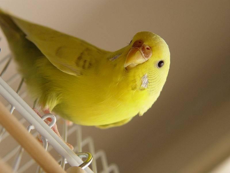 Волнистый попугай – описание, виды, фото, содержание, уход