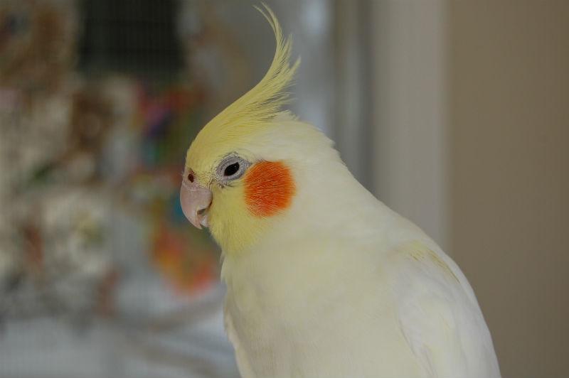 Попугай корелла: фото, говорит, пол, клетка, уход, сколько живут ...