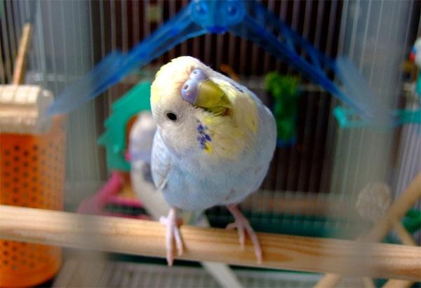 узнать возраст волнистого попугая