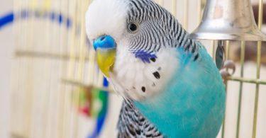 определить возраст волнистого попугайчика