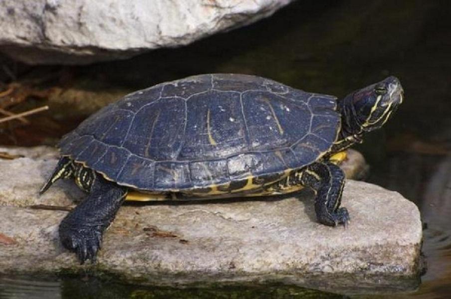 как размножаются черепахи
