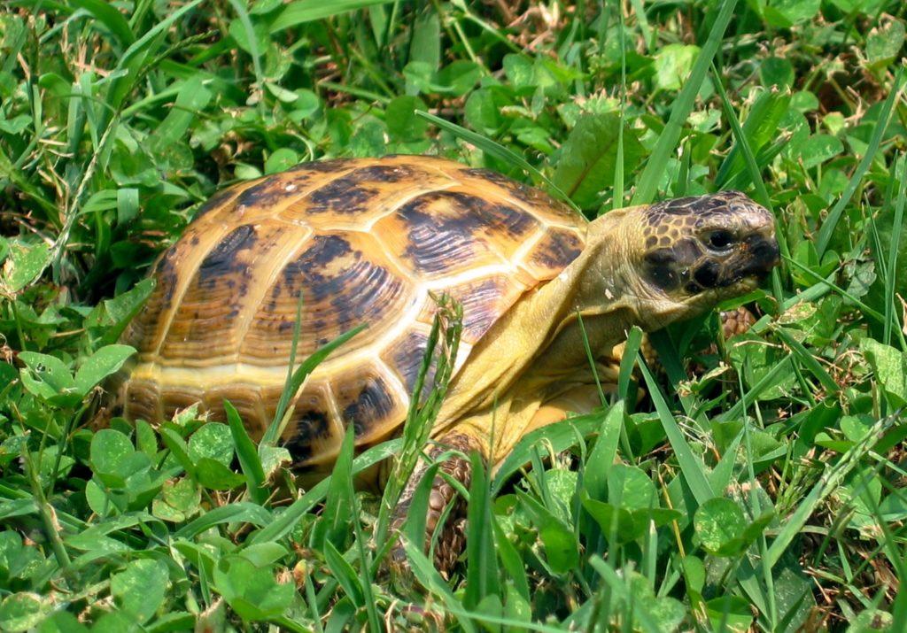 сношаются черепахи