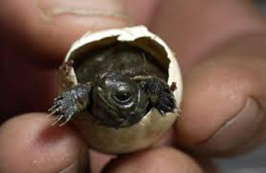 половой орган черепахи