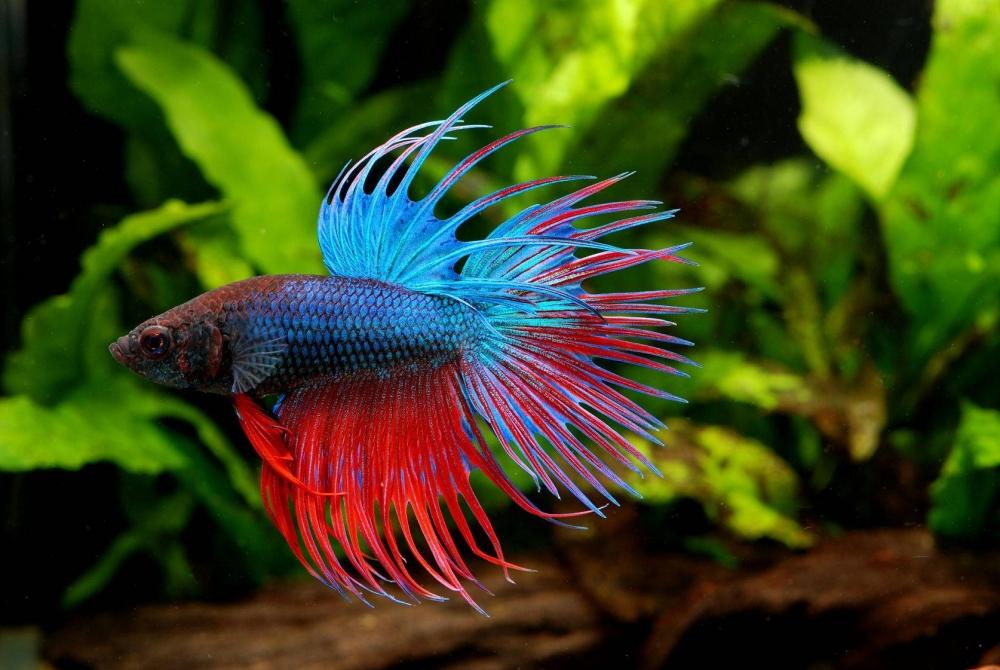 Рыбка петушок – фото, виды, уход и содержание, совместимость