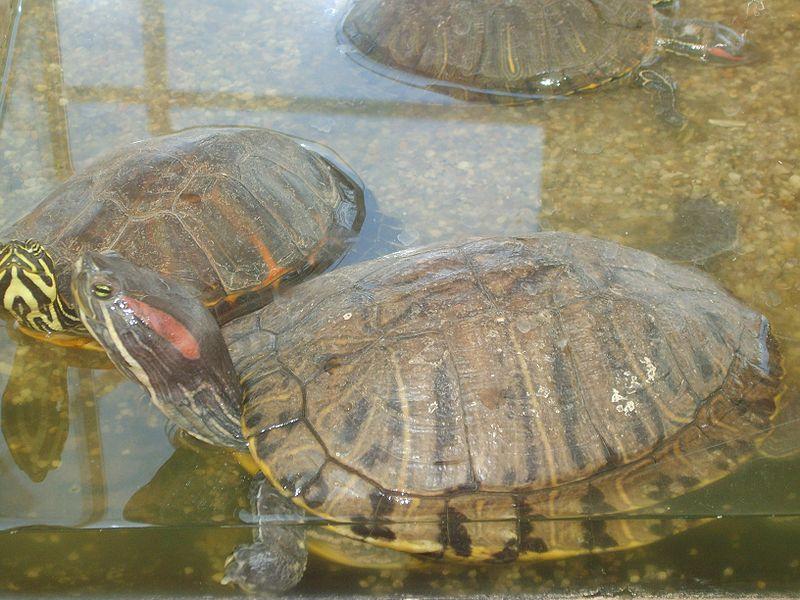 аквариум для красноухой черепахи своими руками