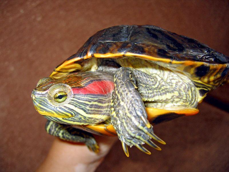 корм для красноухой черепахи