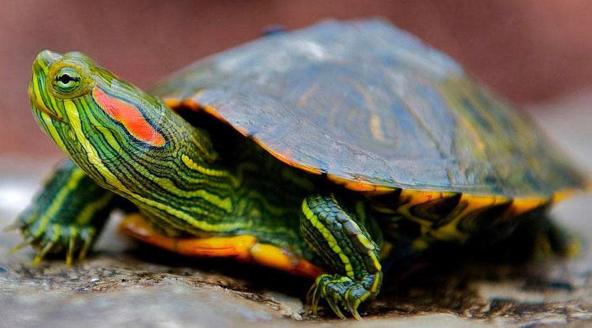 Красноухая черепаха: в домашних условиях, содержание и уход