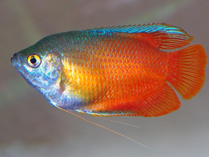 лялиус совместимость с другими рыбами