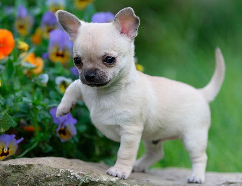 все виды маленьких собак