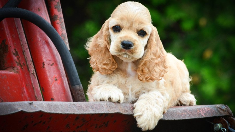 гладкошерстные породы собак маленьких размеров