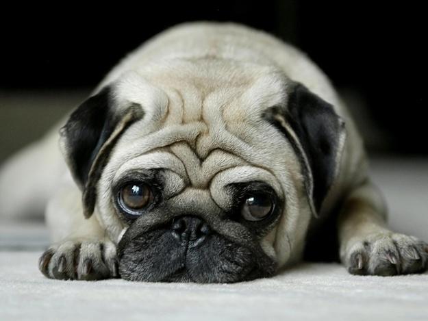 сколько стоит маленькая собачка