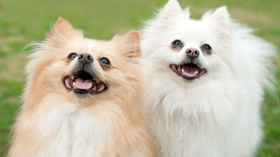 декоративные собаки фото с названиями