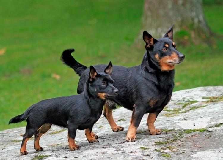 собака как игрушка порода