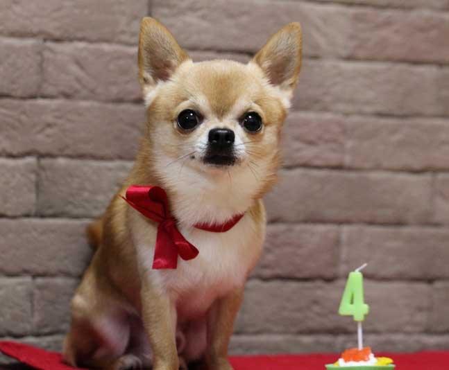 маленькая собака с большими ушами порода