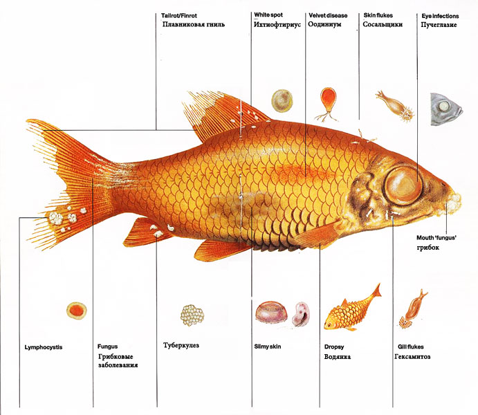 рыбка галактика