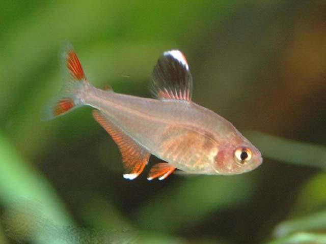 серпас рыбка