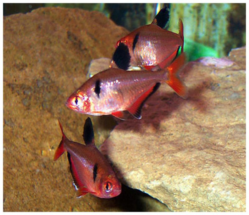 аквариумные рыбки миноры
