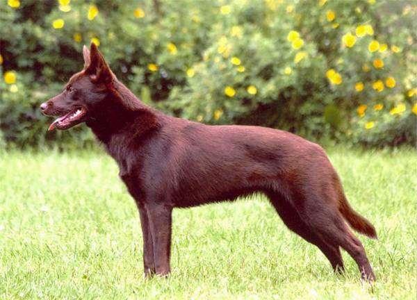 пастушья собака фото