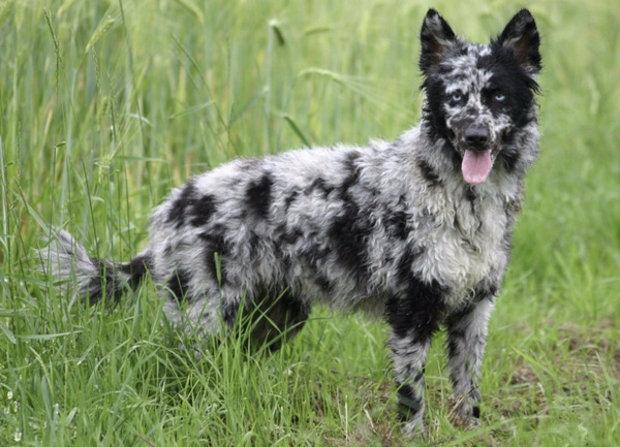 собаки пастухи породы