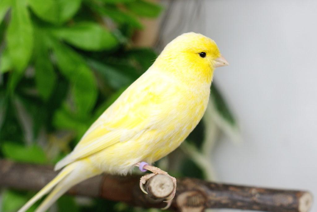 домашние птички в клетках